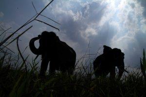 Tulus (depan) dan Topan (belakang) Topan (belakang) yang menghormati Tulus (depan) sebagai pemimpin gajah di SM Padang Sugihan Sebokor.