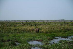 Palice (4,5) anak gajah sumatera yang hidup di SM Padang Sugihan Sebokor.