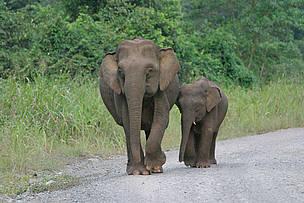 Di Tengah Status Kritis Gajah Sumatera