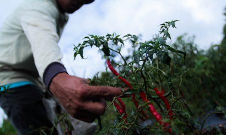 Warga memetik cabe di kawasan perkebunan di bawah kaki Gunung Kerinci. Ukhuwahfoto/Nopri Ismi